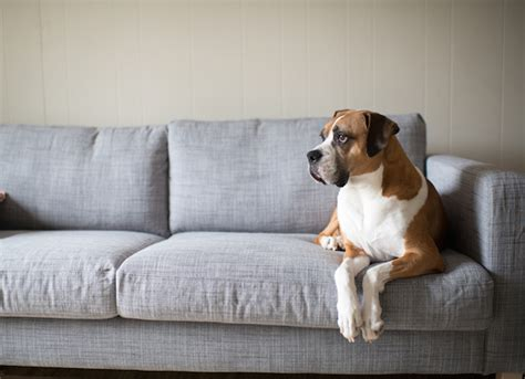 dog won t stay off couch tips for keeping your dog off the furniture petmd