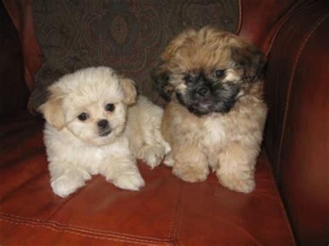 peekapoo puppies peekapoo pekingese poodle mix information temperament puppies pictures