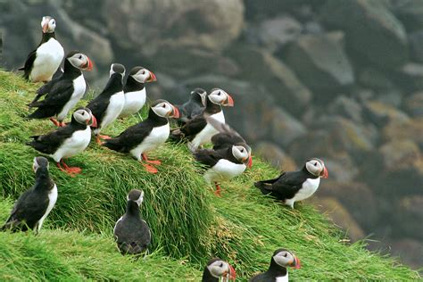 sq online puffins family time