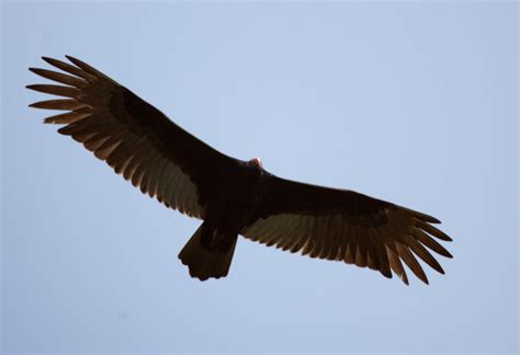 turkey vulture in flight clippix etc educational photos