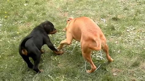 which is more dangerous rottweiler or pitbull diesel our dangerous rottweiler vs pitbull