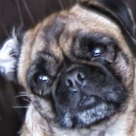 loca the pug song 1000 images about located the singing pug on the spider and the