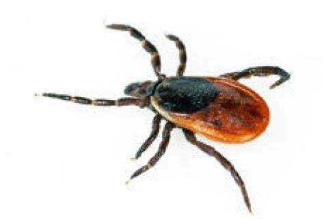 found tick on ticks found on toronto islands being tested for lyme disease toronto