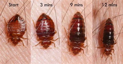 is it normal to see bed bugs after treatment bed bugs insects in the city