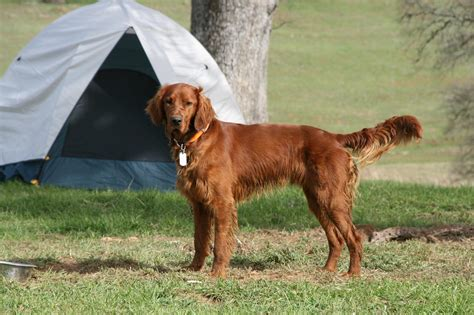 irish setter working dog russell irish setters more russell dogs