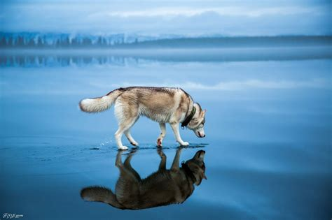 frozen dog wallpaper husky walks on water after heavy rainfall covers this