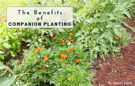 The Benefits Of Companion Planting Companion Vegetable Gardening