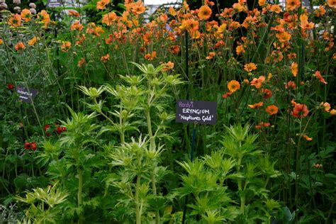 hardys cottage garden plants eng hardys stand 27 compressed eryngium zabelii