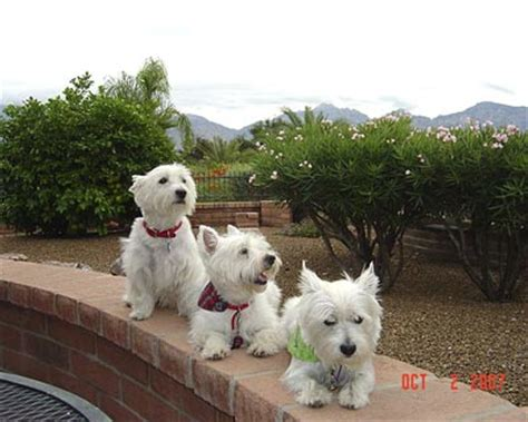 southern indiana poodle rescue westies for sale in iowa