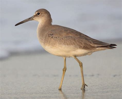 willet all about the willet birds
