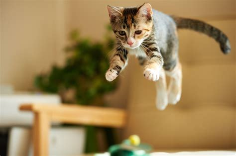 How To Stop A Cat From Jumping On Furniture by Stop Jumping Cat Up Calls