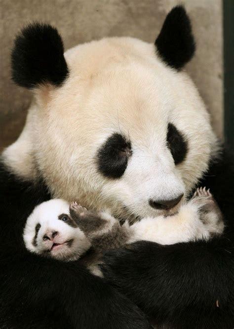 pandas et pousses de bambou mitsouko au cp