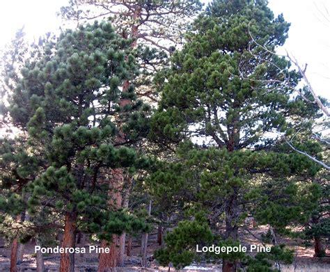 rocky mountain pine tree rocky mountain bushcraft rocky mountain tree