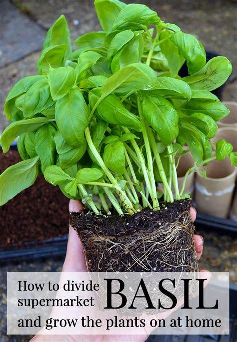 difficult plants to grow de 25 b 228 sta id 233 erna om basil plant hittar du p 229 pinterest