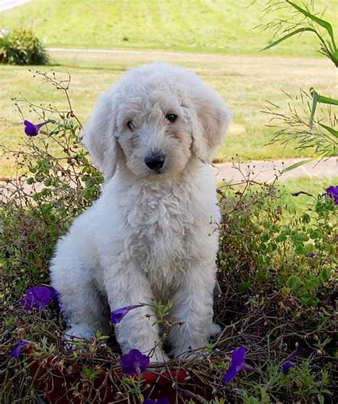 Labradoodle Non Shedding by Low Shedding Dogs 719x1281 Labradoodle Therapy Dogs For