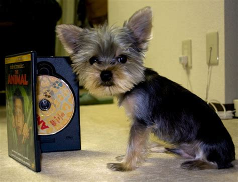 yorkie size estimate your puppy s weight and size yorkiepassion