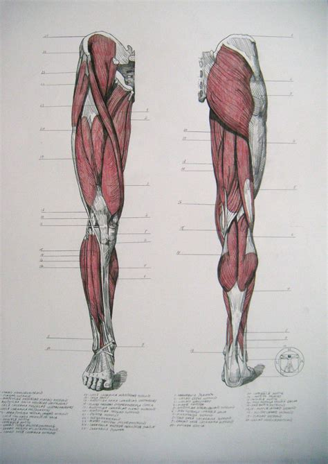 back of a back of leg muscles anatomy human anatomy diagram