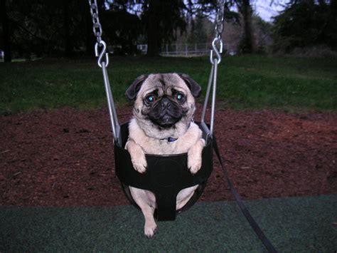 dog in baby swing pugg liiiiiiiiiife www youtube com watch v 7qvv9oelhuo