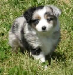 australian shepherd puppies illinois 25 best ideas about miniature australian shepherds on miniature