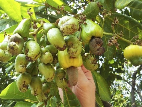 Cashew Nut cashew nut information tips for growing cashew nuts