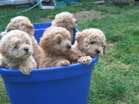 mini doodle puppies ohio miniature goldendoodle puppies ohio