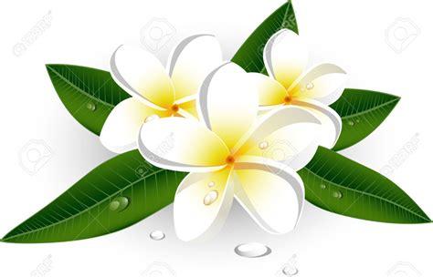 white frangipani clipart clipground