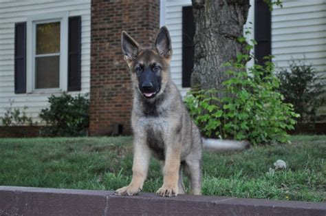 german shepherd puppies nc german shepherd puppies for sale in