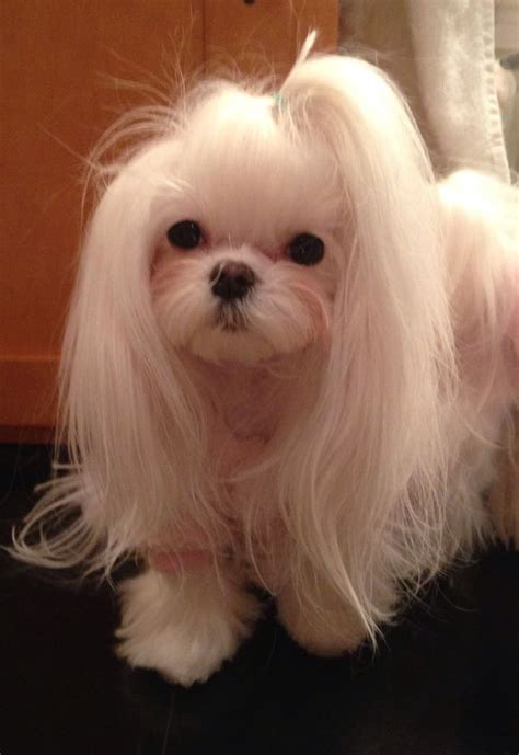 maltese dog cottony hair 1000 images about maltese cuts on pinterest