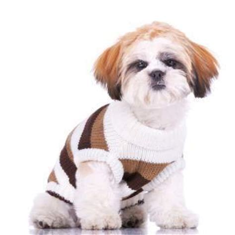 shih tzu age shih tzu age weight chart growth chart shih tzu information center