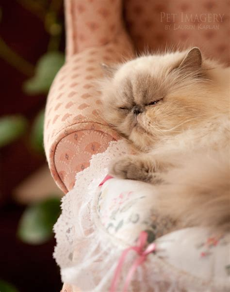 shih tzu cats new pet photography chelsea the shih tzu and haired feline friends 187 pet