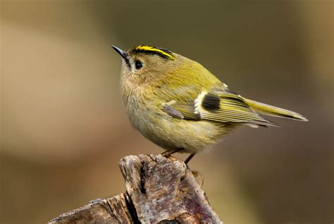barrie h kelly goldcrest j0a1821 goldcrest