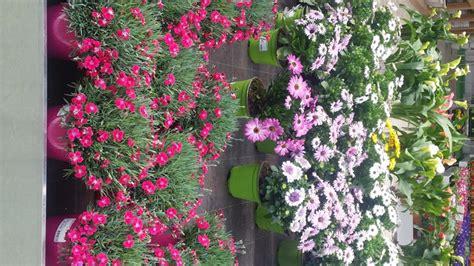 piante fiorite perenni piante perenni fiorite
