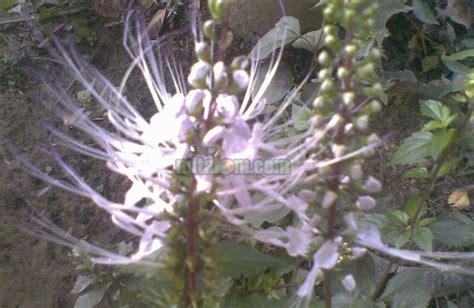 Obat Herbal Kumis Kucing manfaat daun kumis kucing sebagai obat herbal