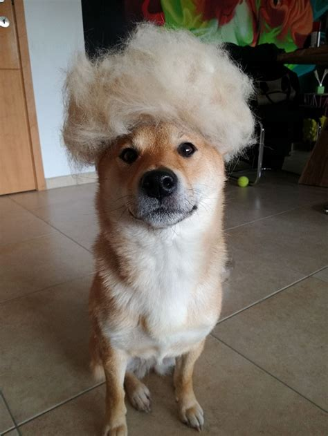 human hair dog cut pics human puts his dog in wigs made from her own hair and it