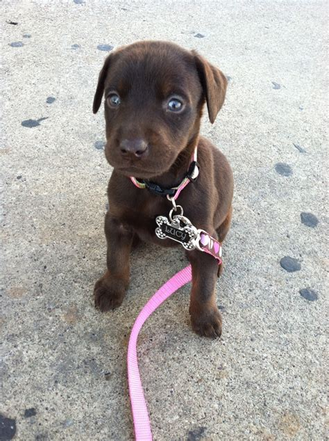 how to my puppy the 25 best chocolate doberman ideas on brown