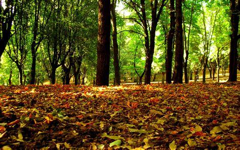wallpaper daun gugur hutan daun musim gugur wallpaper alam alam wallpaper