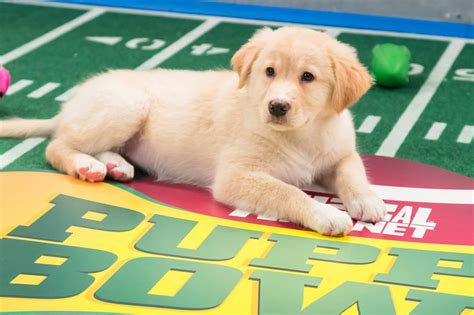 puppy facts for 6 adorable facts you probably didn t about the puppy bowl