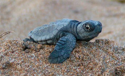 imagenes de libres y tortugas tortugas marinas im 225 genes y fotos