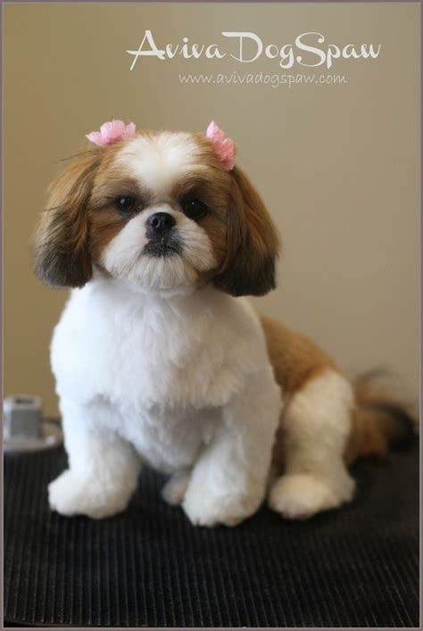 sophisticated cuts for shih tzus 17 best images about shih tzu on pinterest best dogs