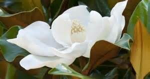 white magnolia trees my favorite flowers plants and