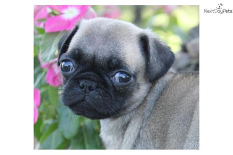 black pug puppies for sale near me black pug puppies for adoption breeds picture