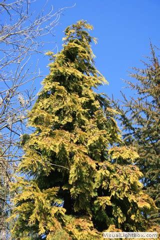 Thuja Plicata Aurescens 1669 by Thuja Plicata Aurescens Goldspitzen Lebensbaum 39