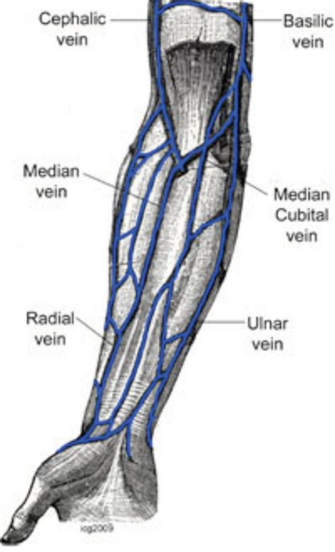 arm veins diagram nurses and on