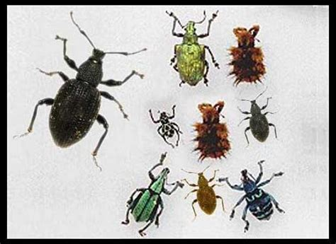 How To Get Rid Of Weevils In The Pantry by Second Ride On Mowers Lopezleticiacutler