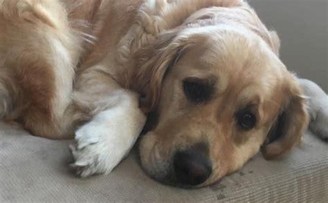 golden retrievers are the worst 15 reasons golden retrievers are the worst indoor breeds of all time