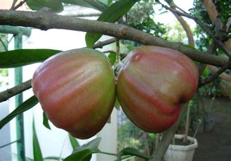Pupuk Tanaman Goldstar tanaman buah jambu king jualbenihmurah