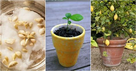 hardest plants to grow how to grow citrus indoors how to grow a lemon tree from seed no matter where you live