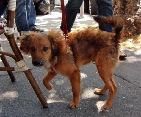 pomeranian doxie mix of the day paddington the pomeranian dachshund mix puppy the dogs of san