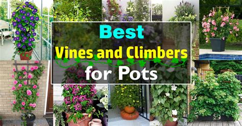 nines in the vines your guide to great 9 golf in wine country books 24 best vines for containers climbing plants for pots