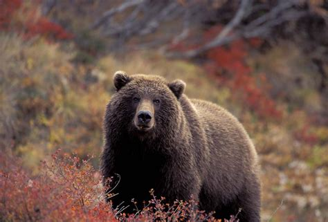 brown bear brown bear 0241137292 brown bear photography by hugh rose